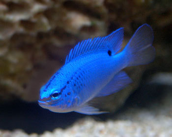 Blue poisson