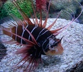 Clearfin lionfish - fish photo