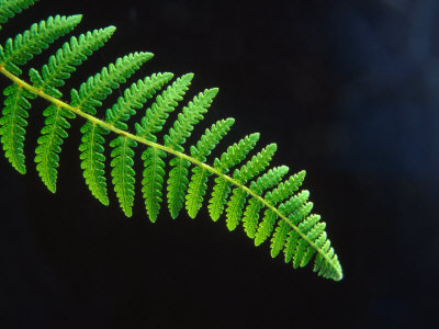 Flowers wallpaper containing a fern titled Fern