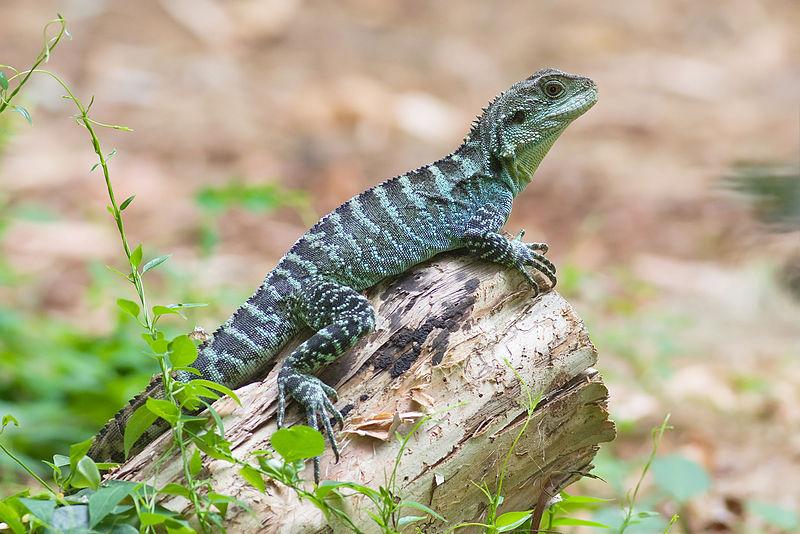 Australian Water Dragon Lizard: Lizards Photo (28572314)