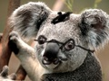 french koala - funny-pictures photo