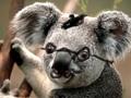 french koala