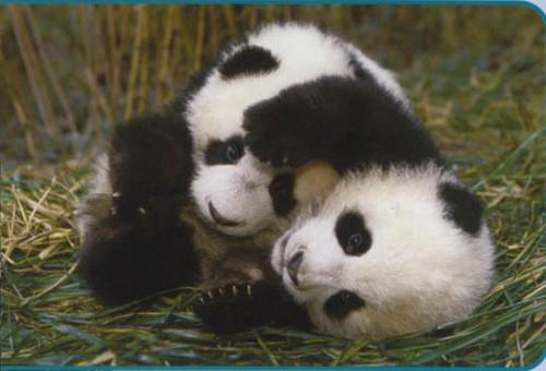 Giant Panda Cubs Playing Pandas images Pandas w...