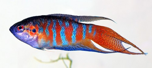 Paradise fisch