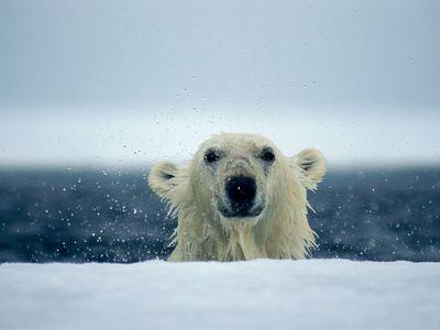 Polar भालू