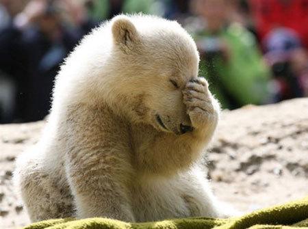 Polar beruang