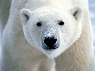 Polar oso, oso de