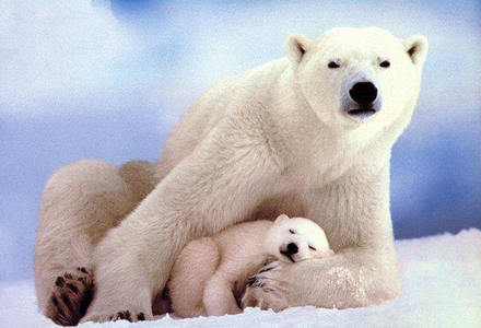 White Images Polar Bear Wallpaper And Background Photos