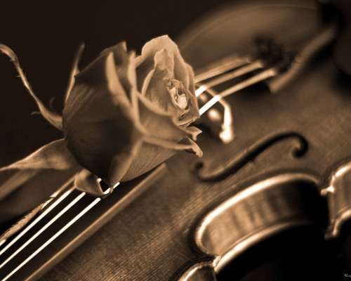 Musica wallpaper with a violista entitled Rose and Violin wallpaper
