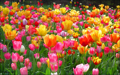 Tulips দেওয়ালপত্র containing a flowerbed, a petunia, and an azalea called Tulips