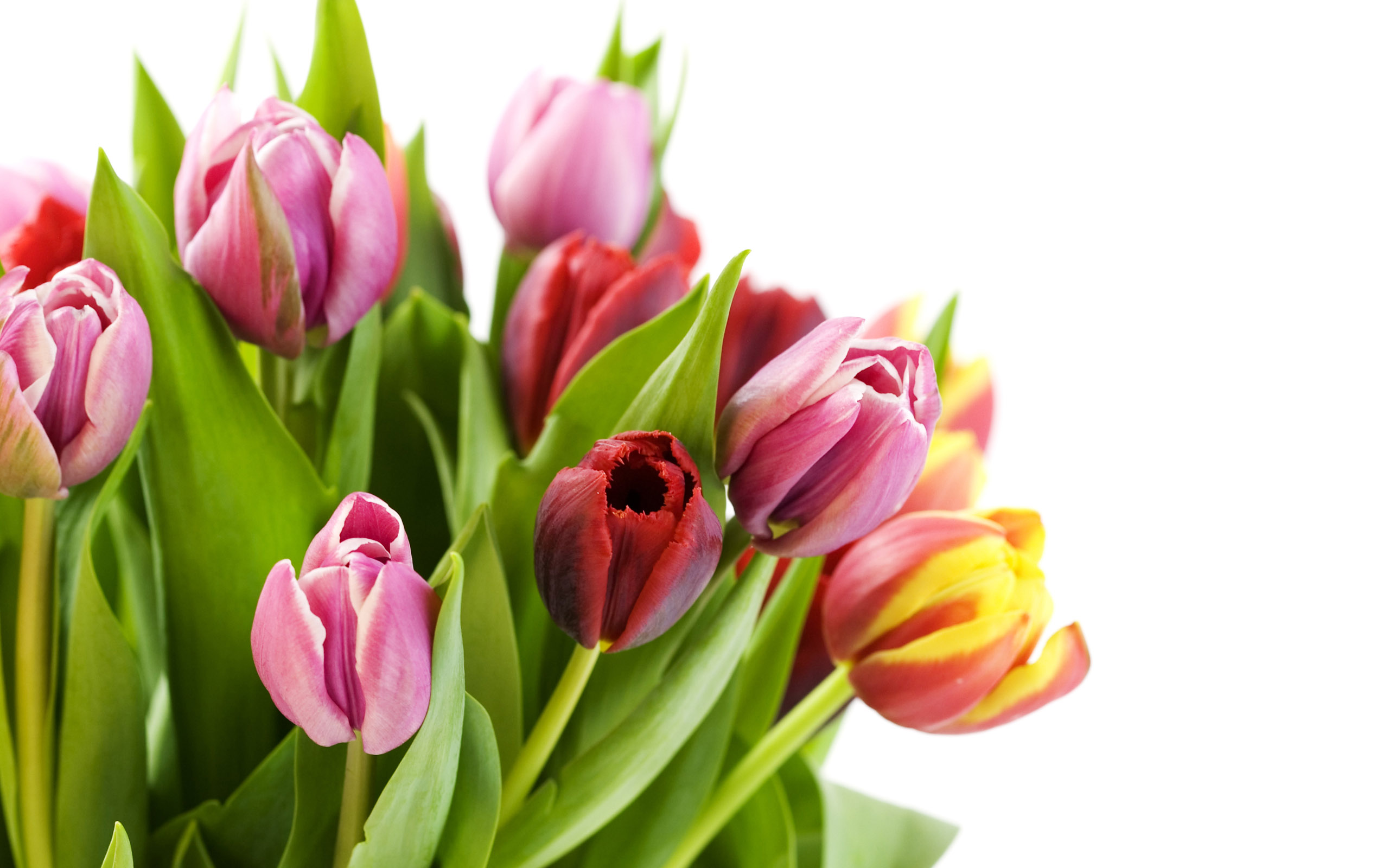 Summer Flower Tulips