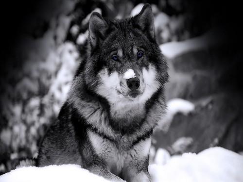 Winter lobo