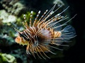 Zebra Lionfish - fish wallpaper