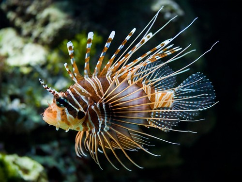 জেব্রা lionfish