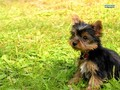 yorkshire terrier puppy - superb-wallpapers wallpaper