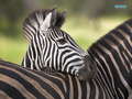 zebra - superb-wallpapers wallpaper