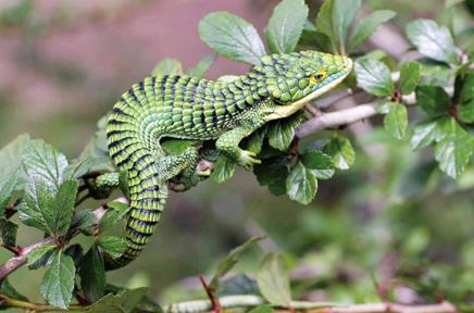 lizards images Alligator lizard wallpaper and background photos