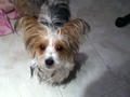 Charlie (Party Color Yorkie) - yorkies photo