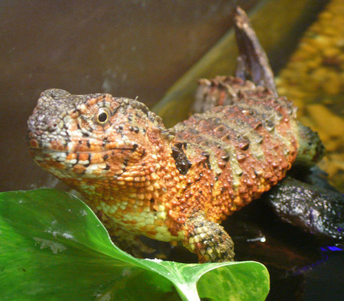 Chinese 鳄鱼 蜥蜴
