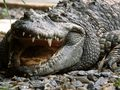 Crocodile - animals wallpaper