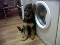 Keisha - german-shepherds photo