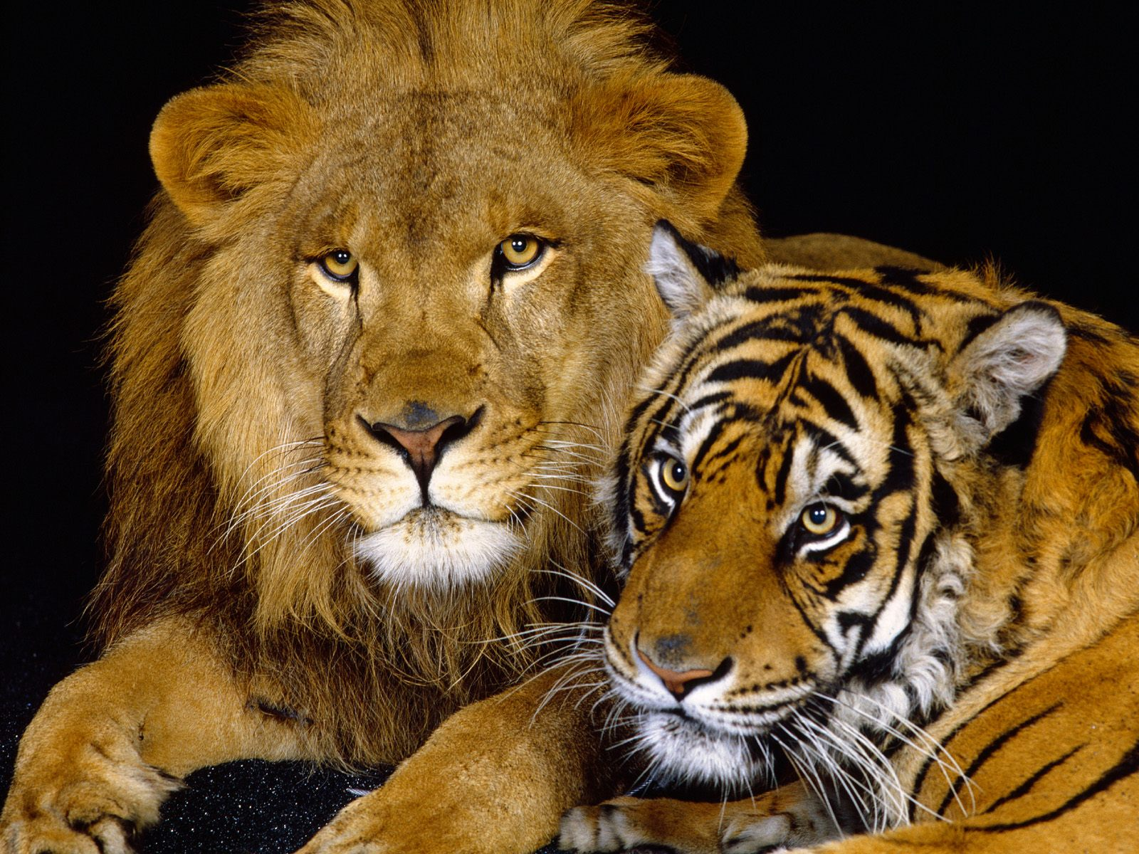Lion and Tiger