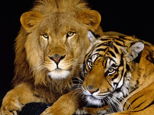 Animals achtergrond titled Lion and Tiger
