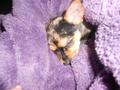 Marley my Chihuahua/Yorkie Mix