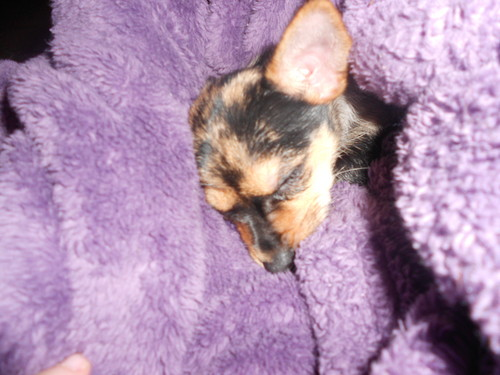 Marley my Chihuahua/Yorkie