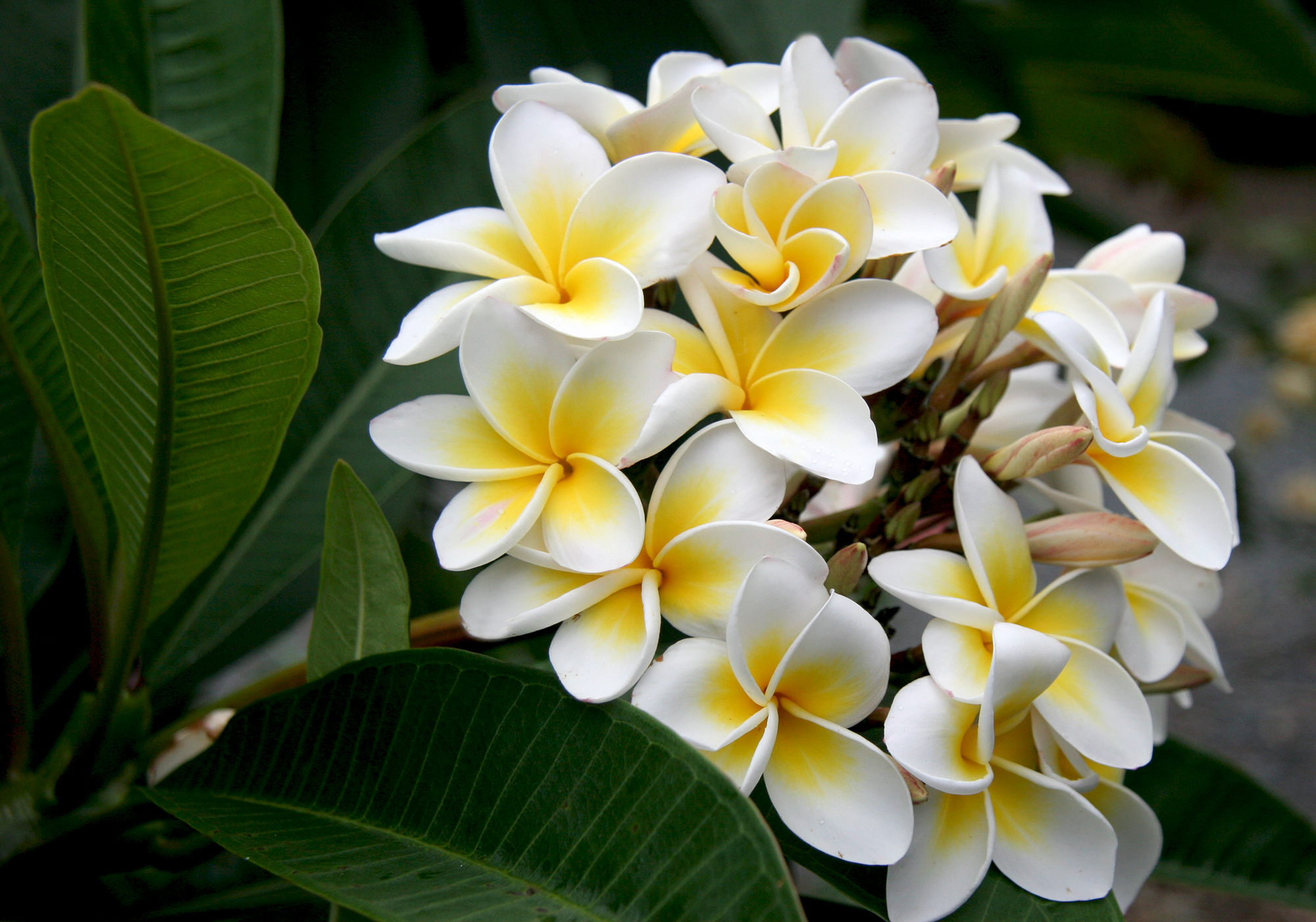Flowers images White Plumeria HD wallpaper and background photos