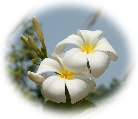 White Plumeria - Flowers Photo (28658813) - Fanpop