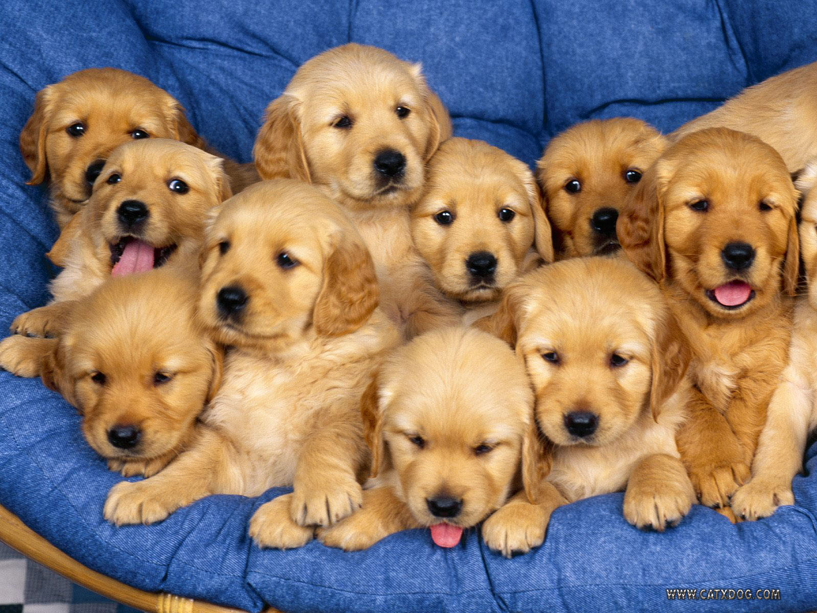 Dancing Little Animals Images Golden Puppies Hd Wallpaper And