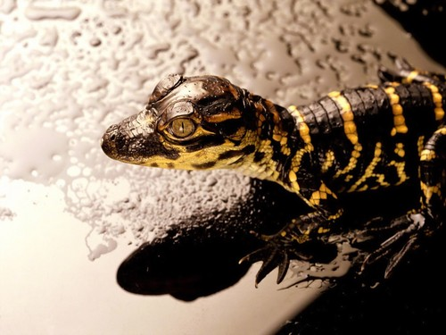Animals achtergrond entitled Baby alligator