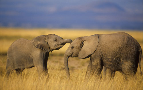 Elephants - elephants Photo