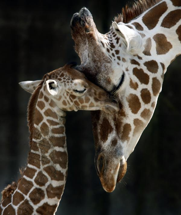 Giraffes Images Mom Giraffe And Baby Wallpaper Background Photos