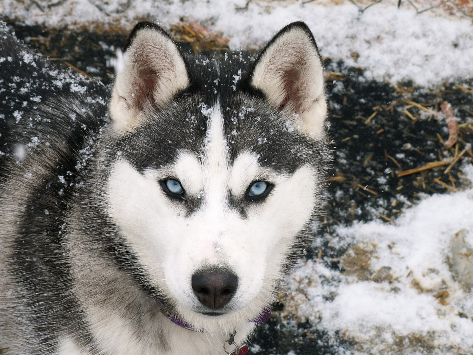 Dogs Siberian Husky with Blue Eyes