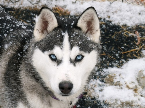 Siberian Husky - animals Wallpaper