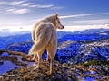 Siberian Wolf - yorkshire_rose wallpaper