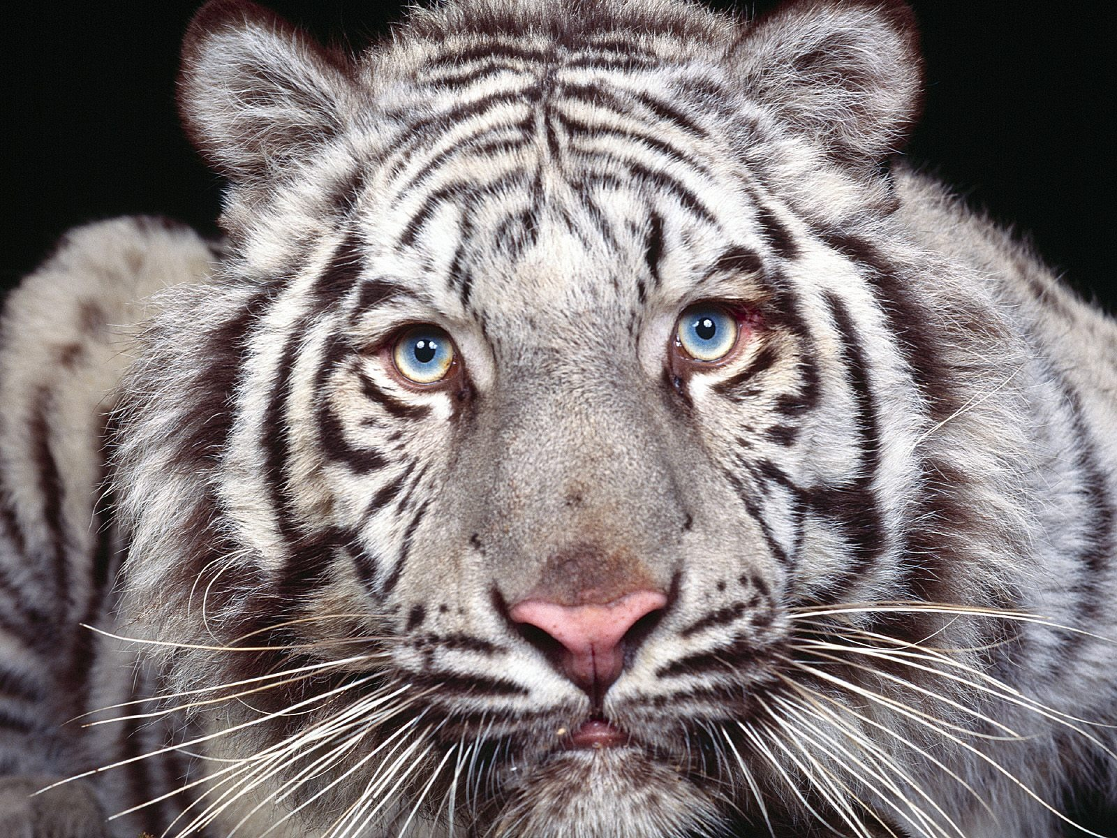 white tiger animal wallpaper - photo #16