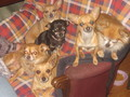 all of our babies - chihuahuas photo