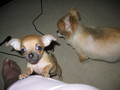 love his ears - chihuahuas photo