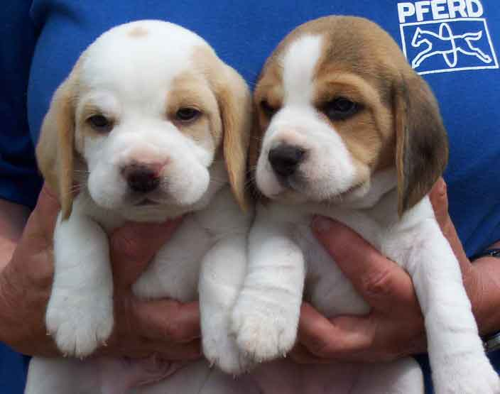 Dancing Little Animals Images Beagle Puppies Wallpaper And