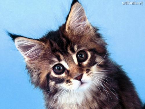 MainCoon Kitty
