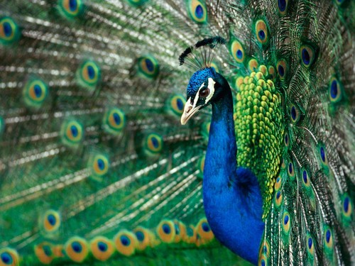 Animals wallpaper with a greenish blue called Peacock