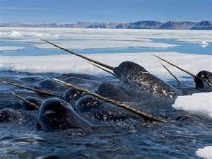 Real Narwhals