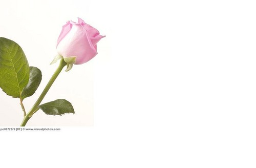 粉, 粉色 rose