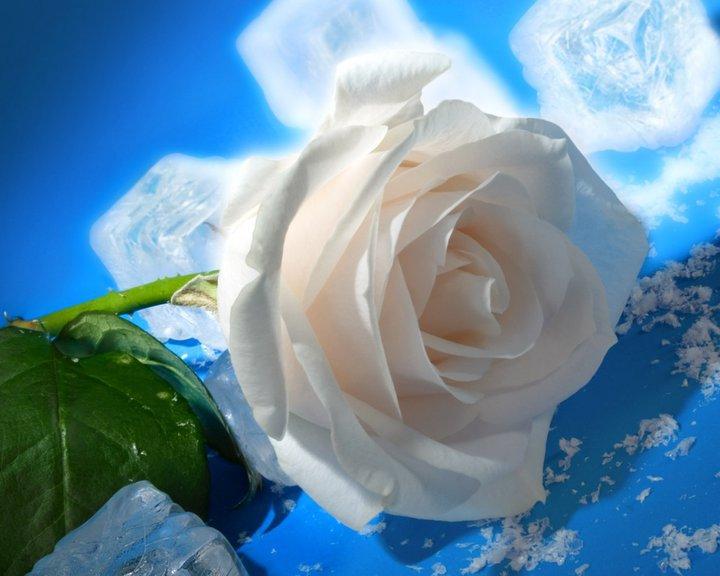 bloomed white roses wallpaper - photo #9