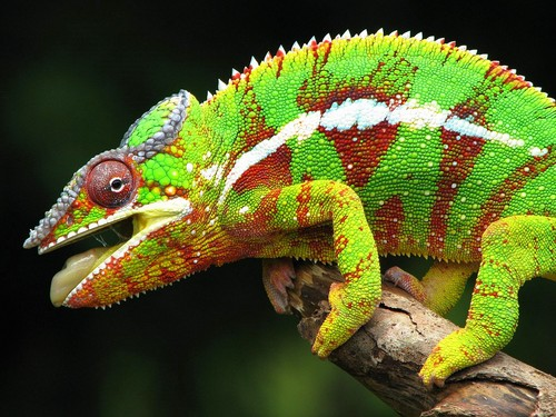 Chameleon - animals Wallpaper