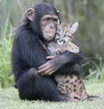 Chimpanzee and Leopard - animals screencap