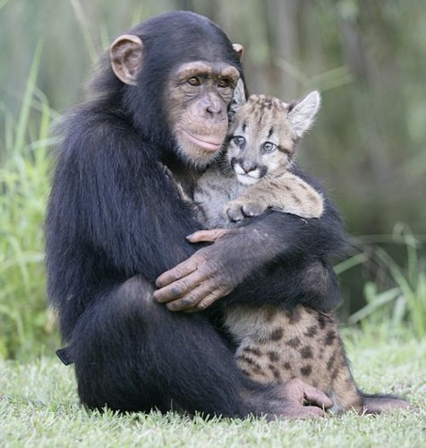 Does A Brain Parasite Make Chimps Morbidly Attracted To Leopards Phenomena Not Exactly Rocket Science